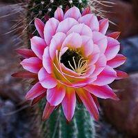 cactusblossum