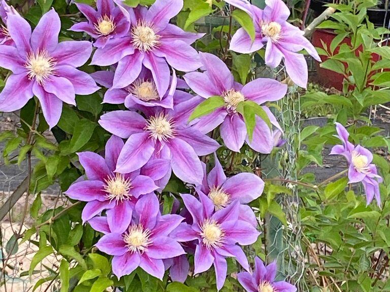 clematis flower eighth anniversary flower