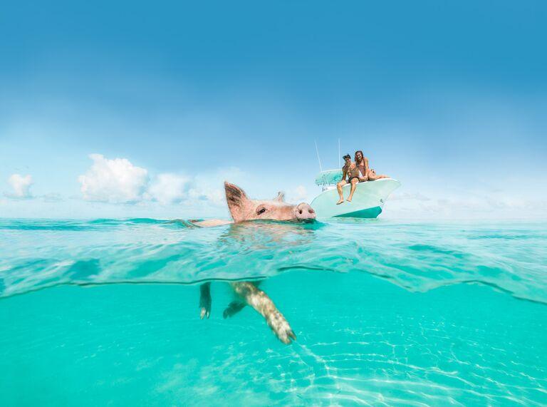 swim pigs