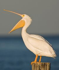 disgruntled_pelican