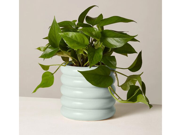 Jade plant in green vase