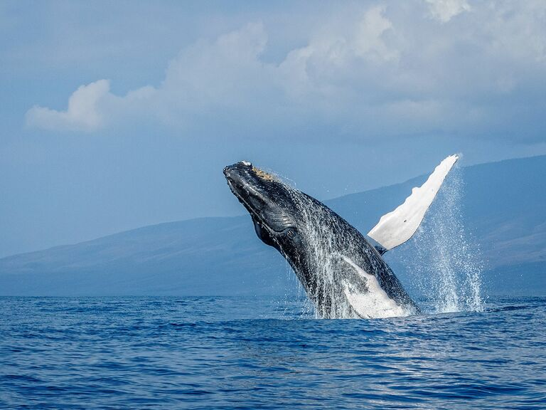 Breaching humpback whale near Maui, Hawaii