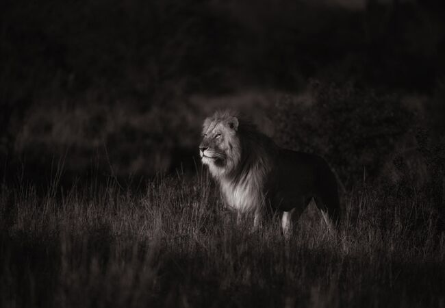 last lions in masai mara | Jonas Peterson | The Knot blog