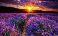 lavenderfields13