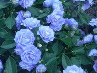 bluecampanula