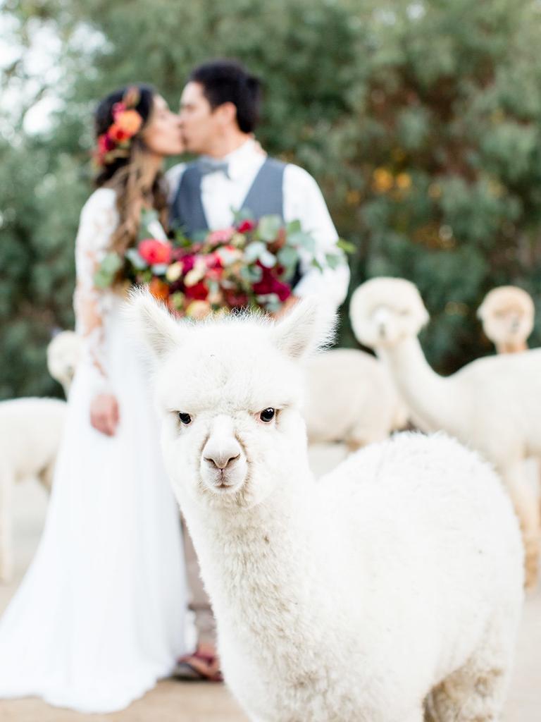 rustic fall wedding alpaca farm
