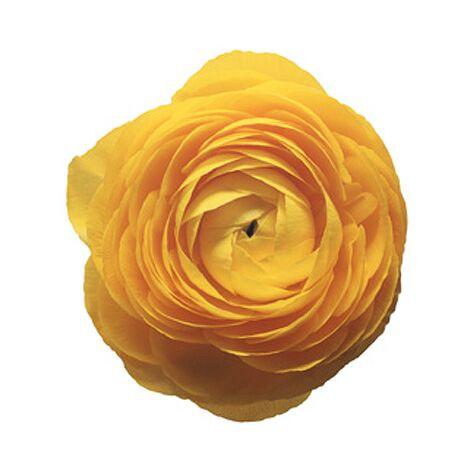 Yellow ranunculus flower