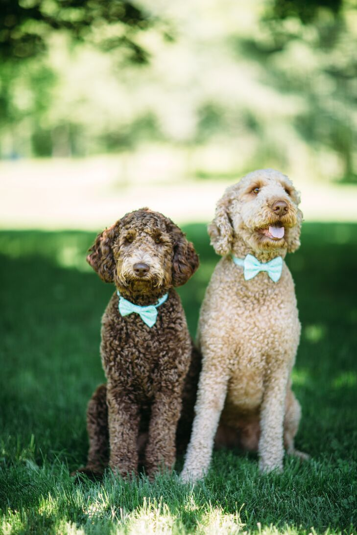 The couple's adorable goldendoodles wore light blue bow ties for their owners' wedding.