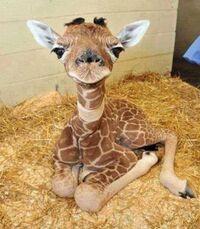 BabyGiraffe18