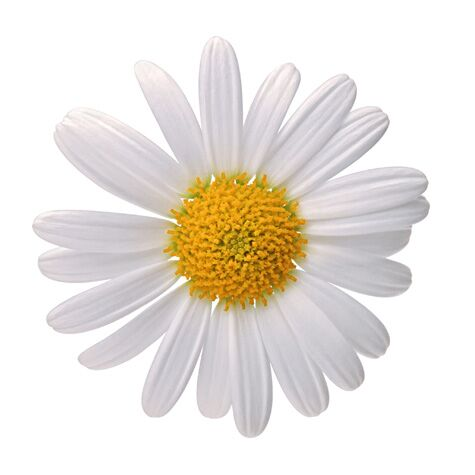 Wedding flower guide with season color and price details you may find the daisy a fitting flower for your wedding if you plucked its white petals in a game of he loves me he loves me not as a child mightylinksfo Choice Image