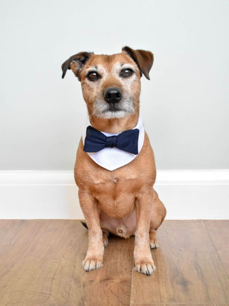 Dog wearing wedding bow tie