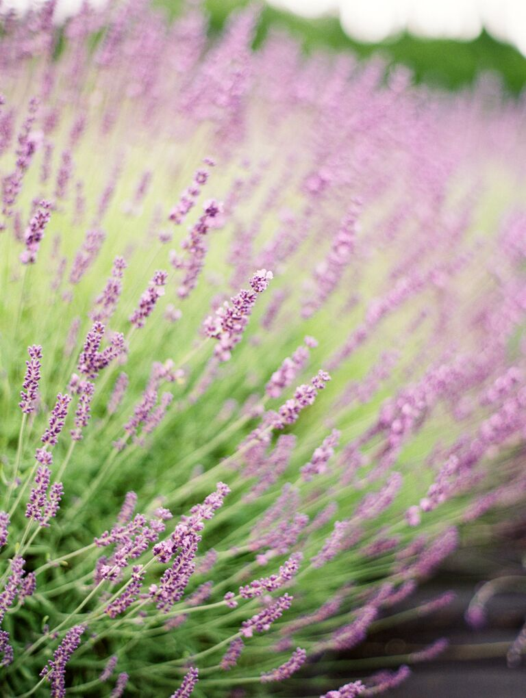 closeup of lavender growing in a field