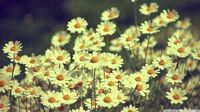 NYDaisies