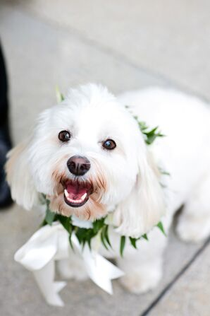 Wedding Dog With White Floral Collar