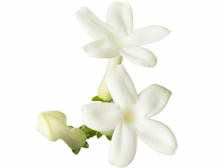 Wedding flower guide with season color and price details white stephanotis flowers mightylinksfo