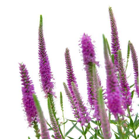 Purple veronica flowers