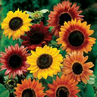 sunflower_auryn