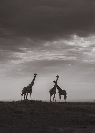 giraffe backdrop in Kenya | Jonas Peterson | The Knot blog