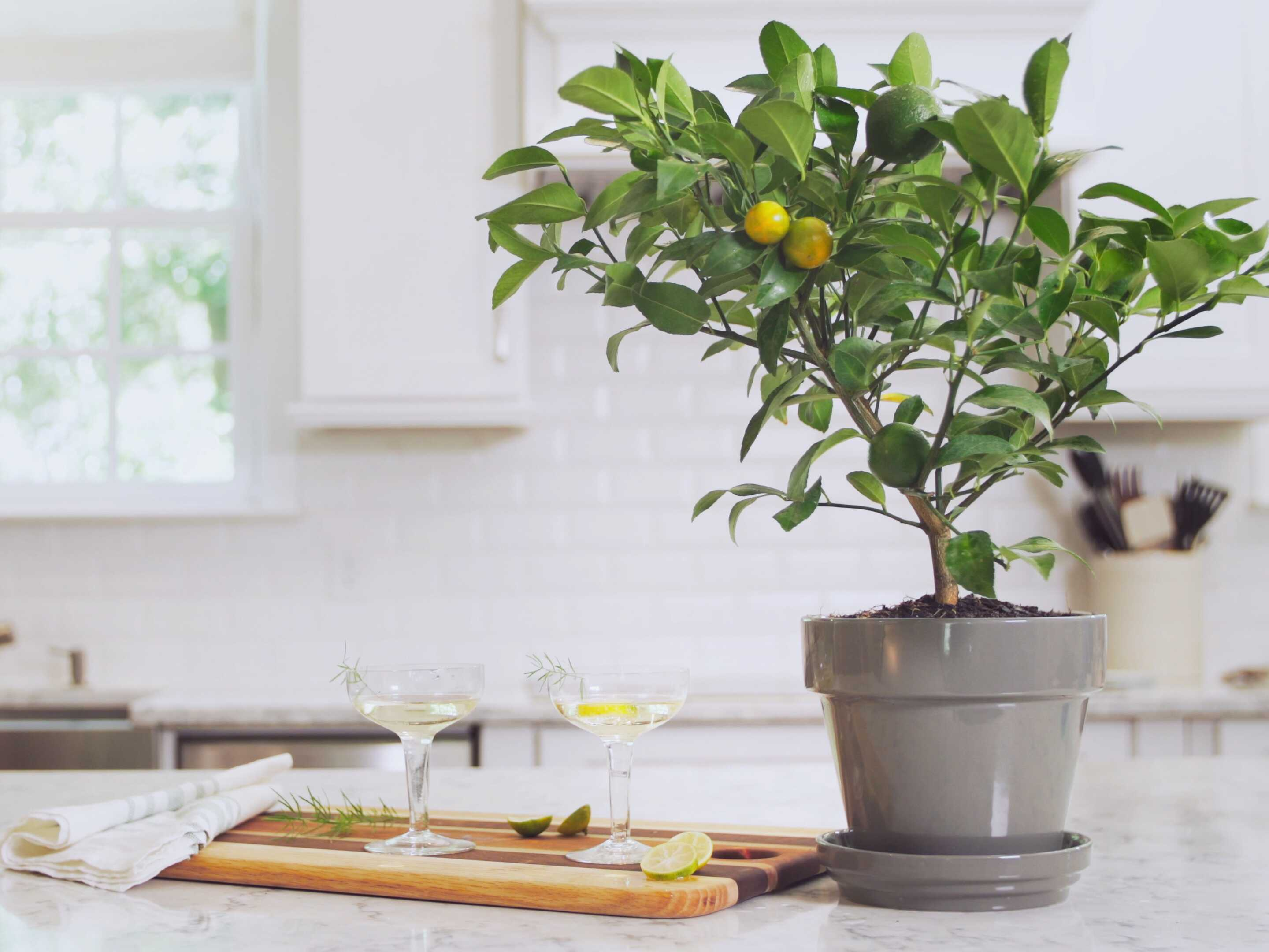 closeup cocktail photo in a kitchen with a small potted lemon citrus tree on the table