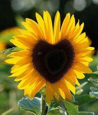 SunflowerMama428