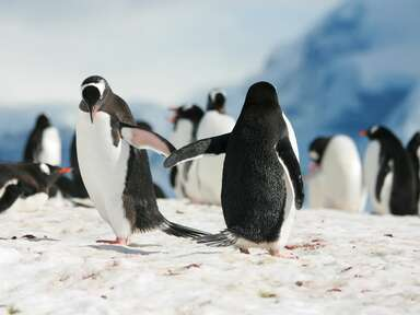 Penguins giving a high five World Penguin Day