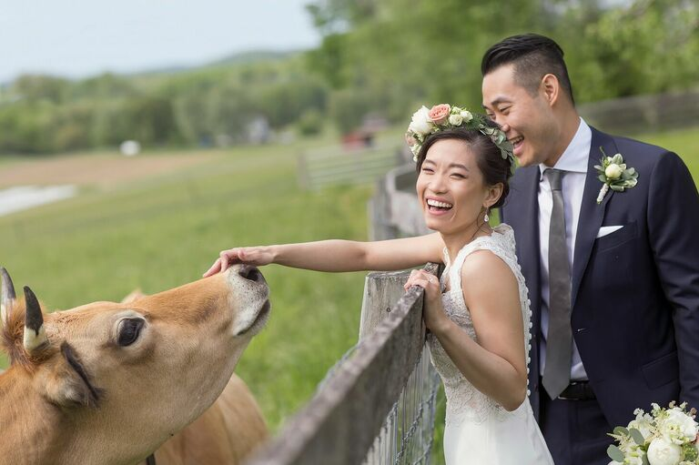 Couple pets cow during wedding portraits on a farm
