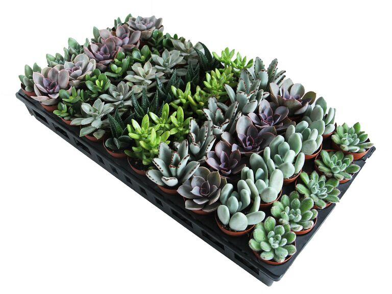 Le mariage écologique favorise les plantes succulentes