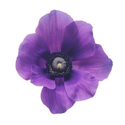 Purple anemone blossom
