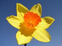 daffodil_shoe