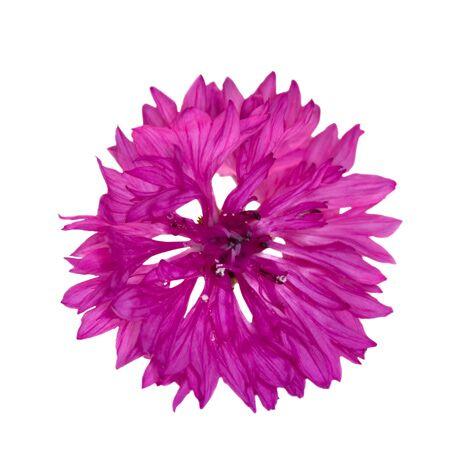 Fuchsia cornflower