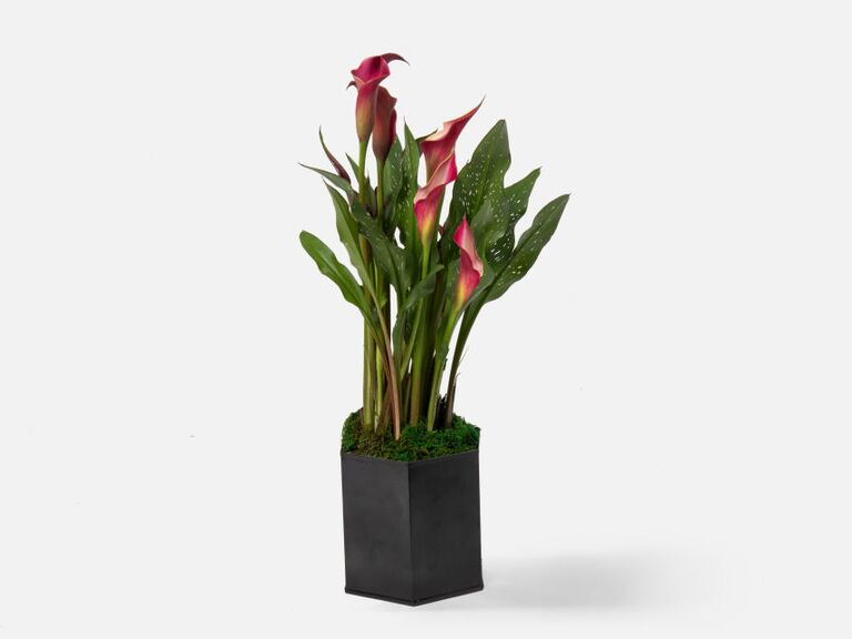 Red calla lily plant sixth anniversary flower gift