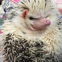 hedgehoglady
