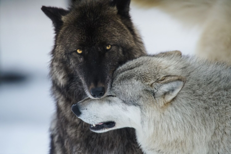 Wolf dynamics, Alaska
