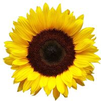 Sunflower9939