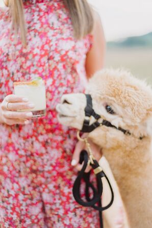 Alpacas Smelling Cocktail at Early Mountain Vineyards in Madison, Virginia