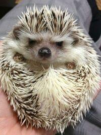 hangryhedgehog
