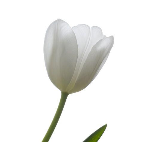 White French tulip