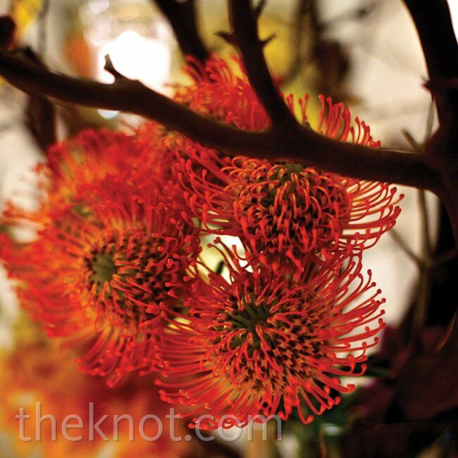 Orange Pincushion Protea