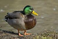 duckmay