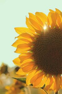 sunflower713